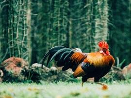 """Vanhempi määräaikainen nainen tutkii: <span class=""""highlight"""">Kulttuuri</span>alan munat, kanat ja tunkioiden kukot &#160;..."""