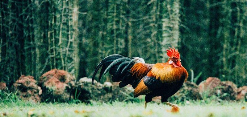 Vanhempi määräaikainen nainen tutkii: Kulttuurialan munat, kanat ja tunkioiden kukot